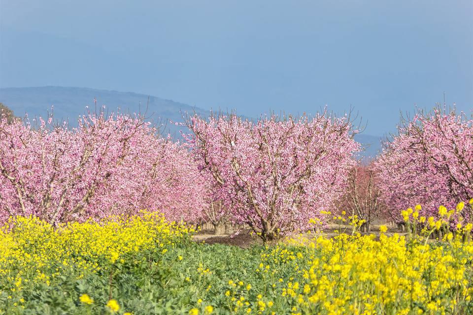 Fresno-County-Blossom-Trail