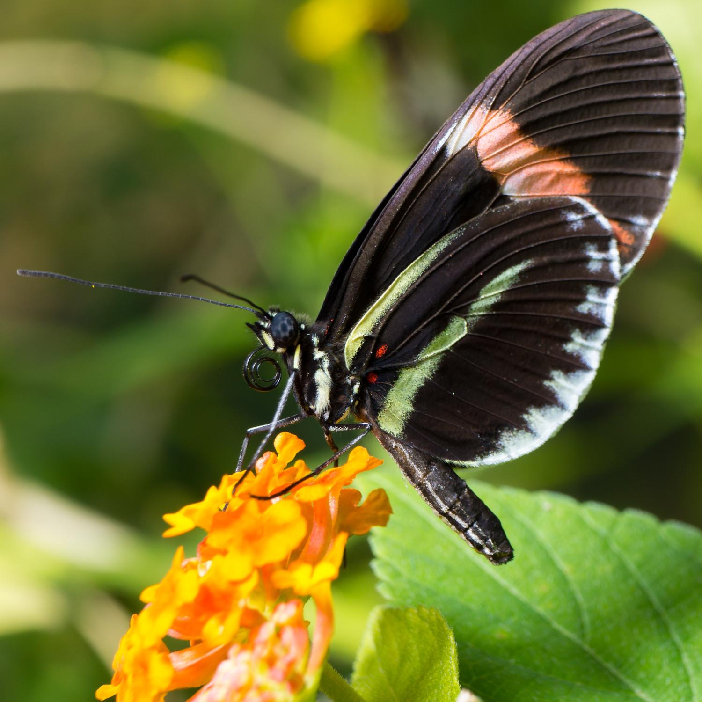 butterfly-pavillion